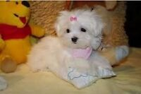 @@@ Looking for a MALTESE puppy @@@