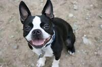 Looking for a Young Boston Terrier