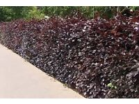 Great Deals -Hedging Plants