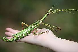 Goliath Stick Insects - Male and Female Riverview Lane Cove Area Preview