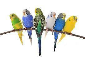Young and Adult Colourful Budgies Adelaide CBD Adelaide City Preview