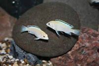 Wanted adult female white lab cichlids
