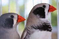 BLACK cheek zebra FINCHES