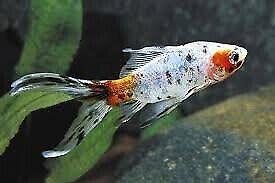 SHUBUMPKIN gold fish cold water pond aquarium fish