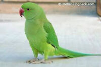 Baby Female Green Indian Ringneck