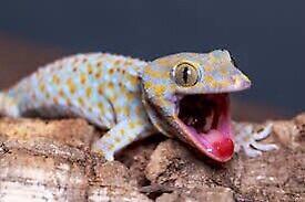 Wanted Tokay gecko