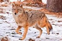 terre pour chasser le coyote