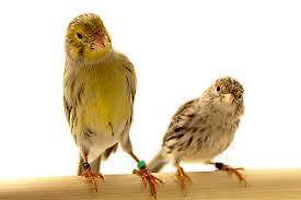 CANARIES FOR SALE Lilydale Yarra Ranges Preview