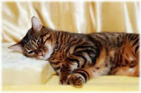 Looking for Bengal or Toyger Kitten