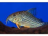 Corydoras Sterbai Cory for sale - live tropical fish