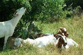 Goat Sanctuary Accepting Pet Goats --Any Age, Any Size
