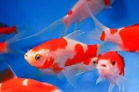 sarasa comet gold fish cold water pond aquarium fish