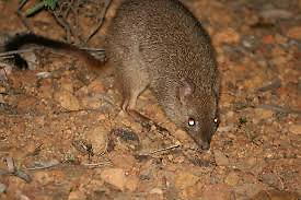 Brush tailed bettong Brentwood Melville Area Preview