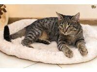 gorgeous female tabby cat
