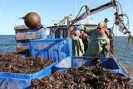 Be your own Boss  ....with a Mussel/oyster seed lease