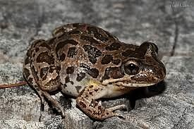 Spotted Marsh Frogs Mentone Kingston Area Preview