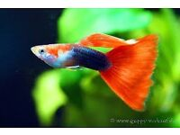 looking for tropcal fish mollys and guppys many thanks all