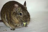 Free Degu with cage and accessories