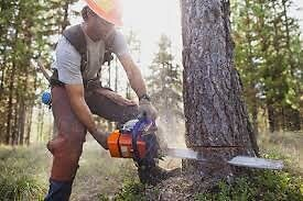 Cutting down a tree or fire wood with a chainsaw