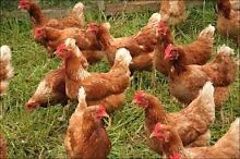Healthy chicken Thomastown Whittlesea Area Preview