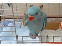 beautiful baby blue ringneck parrots 12 weeks old males and females with hatching certificates