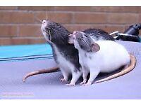 differant coloured pet rats