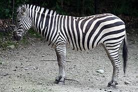 The Zebra Stand
