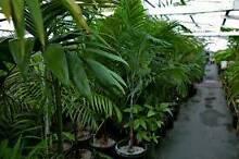 Mixed varieties - Ex hire plants Taren Point Sutherland Area Preview