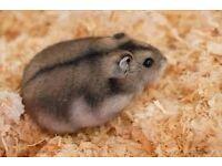 free male russian dwarf hamster