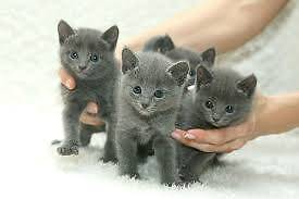 Russian Blue kitten wanted <3 Altona Meadows Hobsons Bay Area Preview
