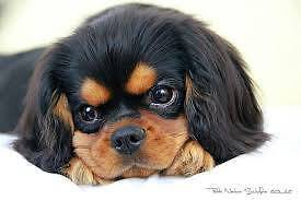 Wanting to adopt a Cavalier pup Redcliffe Redcliffe Area Preview