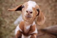 Looking for a goat,pony, pot belly pig for a child's party