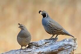 Exotic quail for sale
