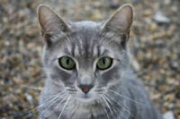 """""""Smokey"""" handsome grey tabby looking for a furever home"""