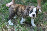 WANTED : Valleybulldog puppy for january time or alittle after