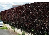 Purple beech hedging plants