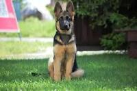 2-4 Year Old Femal German Shepherd
