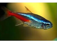 Neon Tetras 1.5 to 2 Inches Tropical Fish I have quite a few left very peaceful and friendly fish