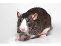 I Adopt Male Rat!!!!!!!