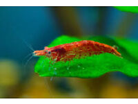 Red Cherry Shrimp for tropical tank