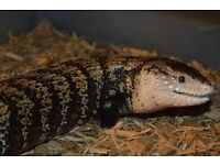 2 year old Indonesian Blue Tongue Skink