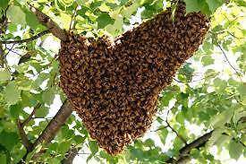 BEE SWARM REMOVAL COFFS HARBOUR AREA Coffs Harbour Coffs Harbour City Preview