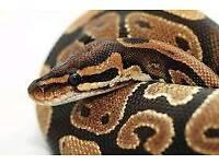 Female royal python