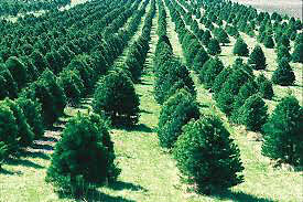 !!! CHEAP AND BEAUTIFUL TREES !!! ORDER NOW FOR FALL!!!!!