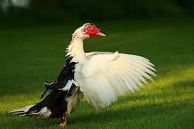 Muscovy ducks and drakes for sale
