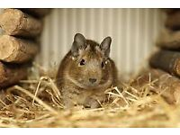 Degu with large cage
