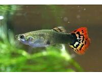 guppies guppy fish, for tropical setup nice bright colours available