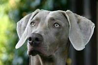 IN SEARCH OF: WEIMARANER PUPPY OR YOUNG DOG