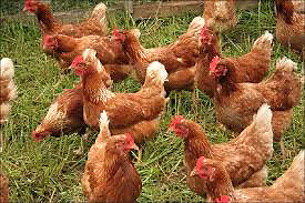 Laying Rhode Island Red Hens