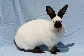 Looking for purebred Rabbits. Californian and Flemish Giant
